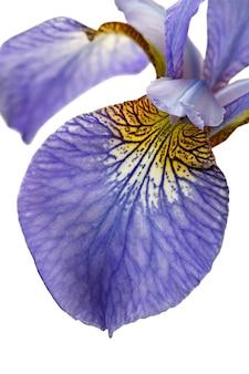 Macro fotografato isolato su sfondo bianco fiore iris sibirica l