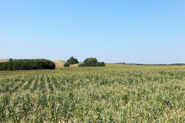 Fotografato nel campo verde acerbo di estate con il cereale