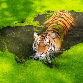 Foto della tigre naturalmente.