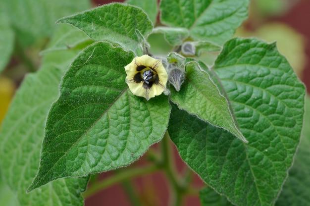 Physalis in fiore in un giardino