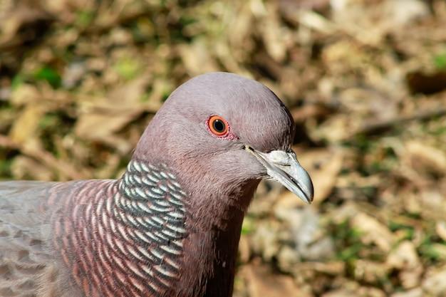 Un piccione picazuro sul ramo, contro uno sfondo naturale sfocato, buenos aires, argentina