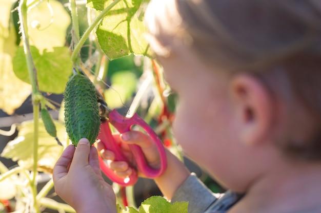 Raccogliere i cetrioli delle colture in autunno. cetriolo nelle mani di un ragazzino che raccoglie con le forbici. Foto Premium