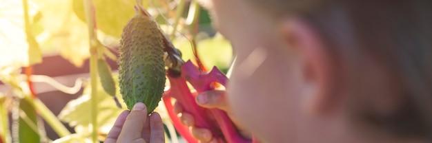 Raccogliere i cetrioli delle colture in autunno. cetriolo nelle mani di un ragazzino che raccoglie con le forbici.