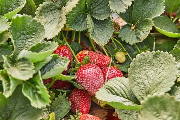 Raccolta di fragole fresche in azienda, primo piano di fragole fresche biologiche che crescono su una vite.