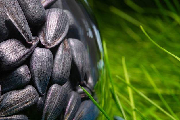 Semi di girasole marinati per la semina in un contenitore di vetro