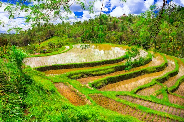 Campi di riso pittorici nell'isola di bali