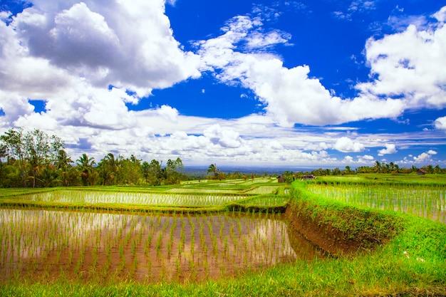 Campi di riso pittorici a bali