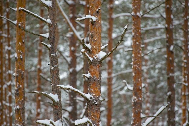 Una foto della foresta di muso invernale di giorno. alberi senza foglie nella neve in inverno