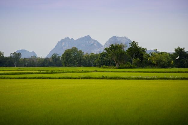Immagine delle risaie verdi e dorate con lo sfondo della montagna