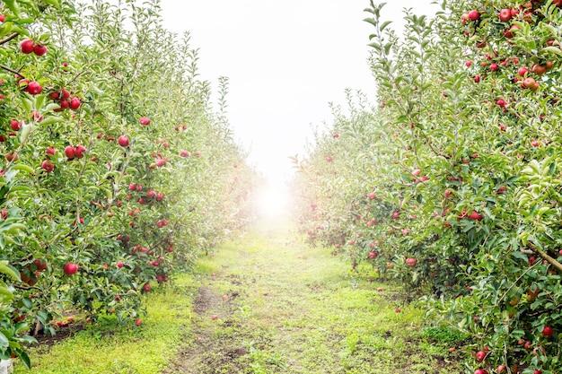 Immagine di mele mature nel frutteto pronte per la raccoltacolpo mattutino