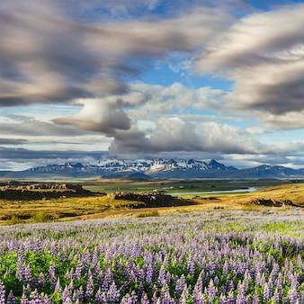 I pittoreschi paesaggi di foreste e montagne dell'islanda. fioritura selvaggia del lupino blu