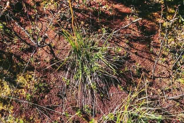 Pittoresco sfondo naturale minimalista con muschio rosso ed erba verde al sole in autunno. sfondo naturale minimale scenico con muschio di sfagno warnstorfii in colori autunnali. minimalismo floreale in autunno.