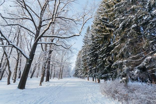 Sentiero pittoresco tra pini ghiacciati e alberi tranquilli in inverno.