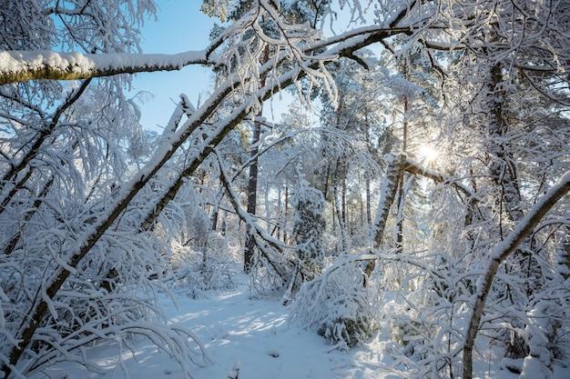 Pittoresca foresta innevata in inverno