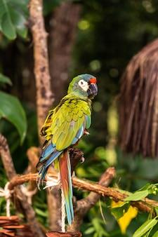 Un pappagallo pezzato nel parco nazionale di aves in brasile.