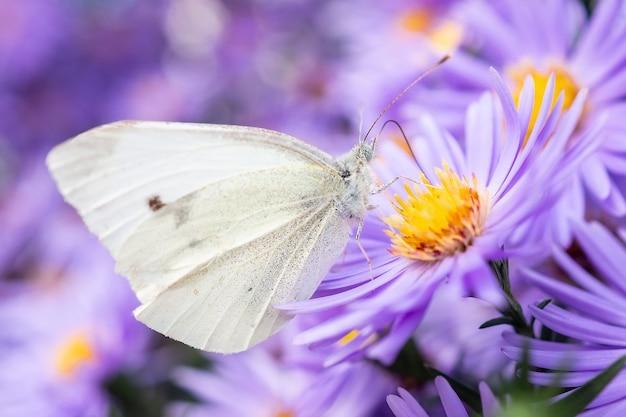 Pieris brassicae il grande bianco chiamato anche cavolo