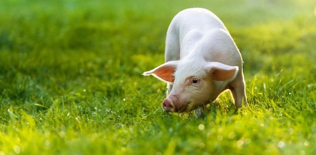 Il maiale è in piedi sull'erba verde