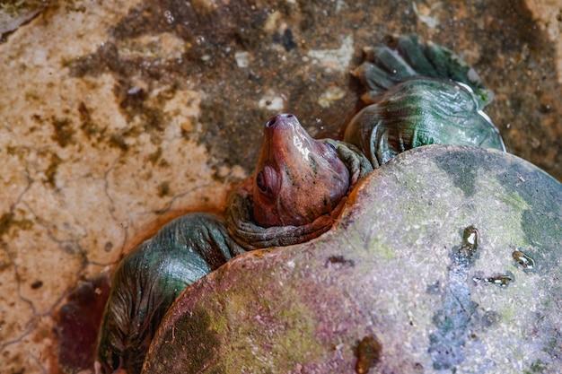 Tartaruga al naso di maiale