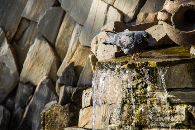 Piccione che beve acqua dalla piscina della fontana nel parco