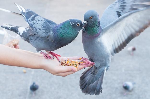 Piccione che mangia dalla mano della donna nel parco, nutrendo i piccioni nel parco durante il giorno