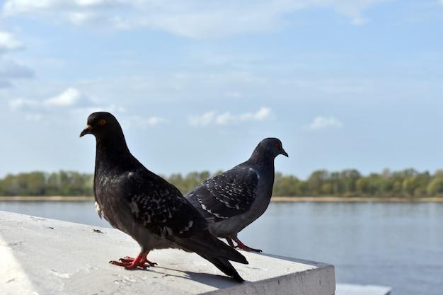 I piccioni riposano sulla riva del fiume