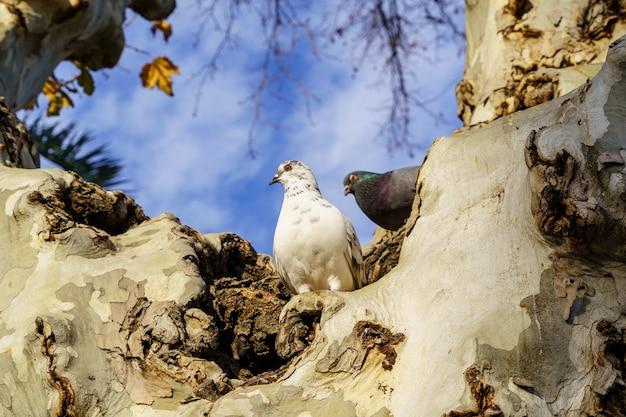 Piccioni in cima a un grande albero in un parco pubblico di siviglia, cielo blu e luce del tramonto. spagna.