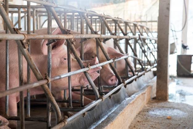 Fronte di porcellino in gabbia di ferro in azienda agricola
