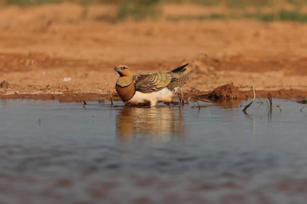 Pin-tailed sandgrouse maschio bere in una steppa di aragona, in spagna, in una pozza d'acqua in estate