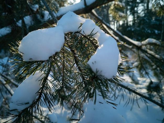 Ramo di pino coperto di neve illuminata dal sole gelido inverno giornata di sole nella foresta