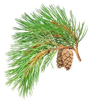 Ramo di pino con coni isolati su superficie bianca