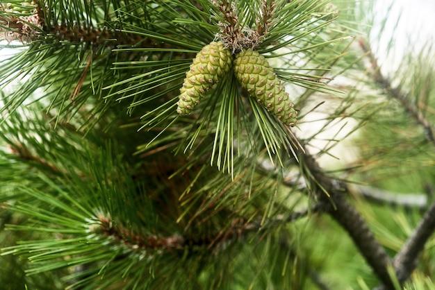 Ramo di pino con coni verdi e aghi di conifere si chiudono