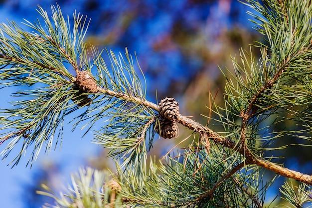 Ramo di pino con pigne su sfondo blu cielo