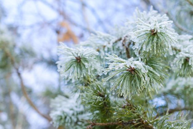 Rami di pino, aghi di pino ricoperti di brina. inverno, sfondo astratto di capodanno. foresta invernale.