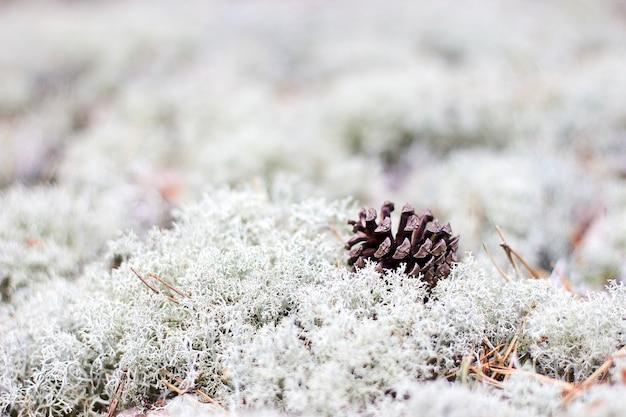 Cono di pino su sfondo bianco lichene