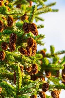 Pigne su abete con aghi spinosi nella foresta invernale con tempo soleggiato.