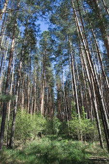 Sfondo foresta di pini