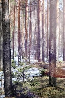 Pineta all'inizio della primavera sotto la neve. foresta sotto il paesaggio invernale di neve. il sole riscalda la pineta che si è svegliata dopo l'inverno.