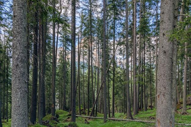 Pineta in una foresta alpina