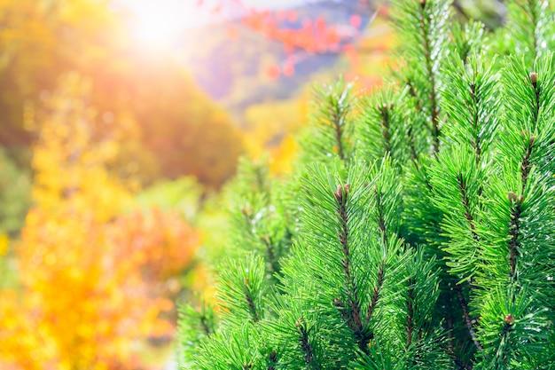 Foglia di pino con luce solare e foresta di autunno