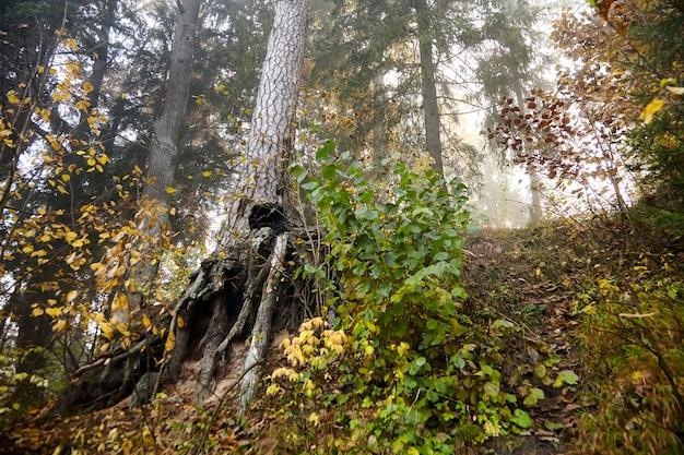 Radici di pino. foresta nebbiosa d'autunno. tronchi e alberi. natura di mattina in una nebbia