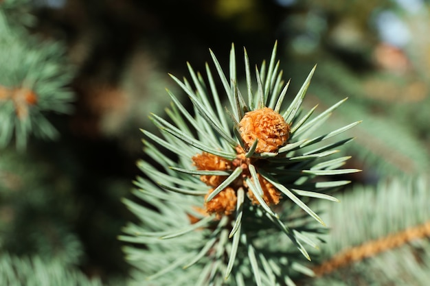Sfondo albero di pino