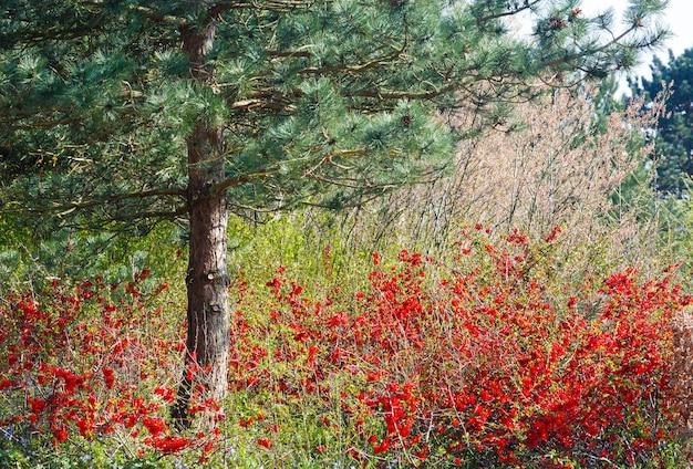 Albero di pino e cespuglio di mela cotogna giapponese sbocciante con fiori rossi nel parco di primavera