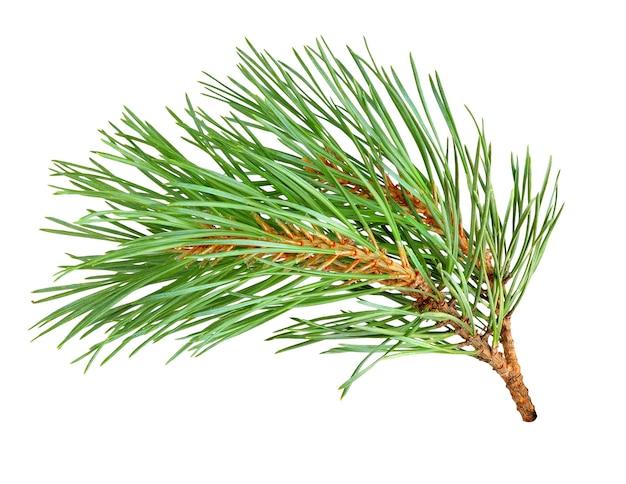 Ramo di albero di pino isolato su bianco