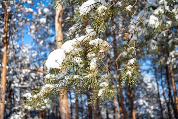 Foresta di pini in giornata di sole invernale dopo una massiccia tempesta di neve