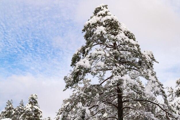 Il pino è coperto di neve. cima dell'albero in una giornata di sole. paesaggio invernale in lettonia.