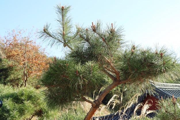 Albero di pino in corea