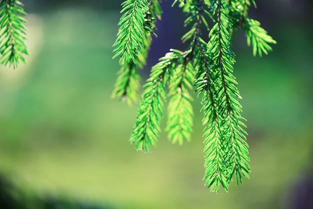 Albero di pino, messa a fuoco selettiva, sfondo sfocato e bokeh. copia spazio banner. rugiada di mattina sul ramoscello, sfondi naturali astratti