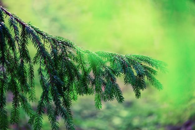 Albero di pino, messa a fuoco selettiva, sfondo sfocato e bokeh. rugiada di mattina sul ramoscello, sfondi naturali astratti