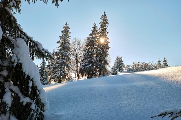 Pini coperti di neve fresca caduta nella foresta di montagna invernale in una fredda giornata luminosa.