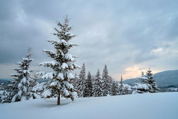 Pini coperti di neve fresca caduta nella foresta di montagna invernale in una fredda sera cupa.